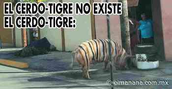 """Captan a """"cerdo-tigre"""" deambulando en las calles de Linares, Nuevo León - El Mañana de Nuevo Laredo"""