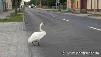 Schwan auf Bundesstraße 109 gesichtet - Nordkurier