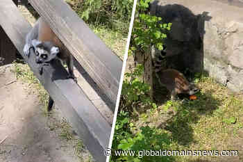 """""""Walk back home"""": the Director of the Novosibirsk zoo, explained the attacks of the lemur out of the cage - The Global Domains News"""
