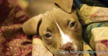 Tisdale considering banning pit bulls and other select dog breeds - Humboldt Journal