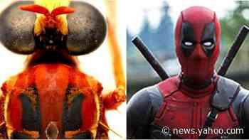 Deadpool fly among new Australian 'super power' species creating a buzz