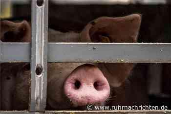 Was am Mittwoch in Werne wichtig wird: Schweinebauern und Buchhandel - Ruhr Nachrichten