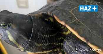 Schildkröte aus dem Altwarmbüchener See sucht ein neues Zuhause - Hannoversche Allgemeine