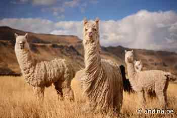 Baja temperatura nocturna en la sierra sur causa muertes de crías y abortos en camélidos - Agencia Andina