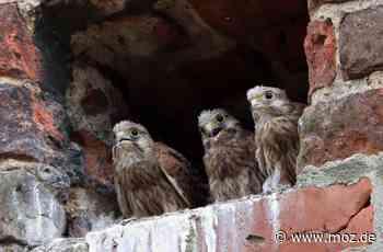 Natur: Falken-Eltern brüten Eier in Eberswalde nicht aus - Märkische Onlinezeitung