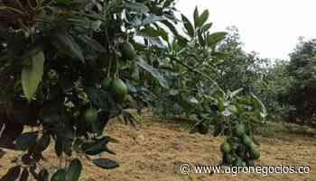 Aceite de aguacate, alternativa para diversificar y ampliar oportunidades en Silvania - Agronegocios