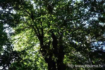 """MONTEROTONDO - La Vicesindaca risponde ai cittadini del centro storico """"Taglieremo solo gli alberi malati"""" - Tiburno.tv Tiburno.tv - Tiburno.tv"""