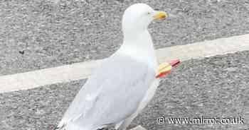 KFC diners stunned as seagull 'unfazed' by arrow pierced through body for months