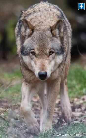Wolf im Ammerland: Schäfer meidet Ollenbäke-Gebiet in Apen - Nordwest-Zeitung