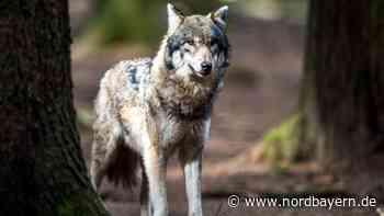Erste Sichtung: Wolf bei Neustadt an der Aisch entdeckt - Nordbayern.de