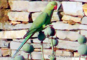 Sob o efeito de opióides, papagaios atacam fazendas na Índia; entenda - Hypeness