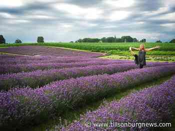 The benefits of lavender medicine - Tillsonburg News