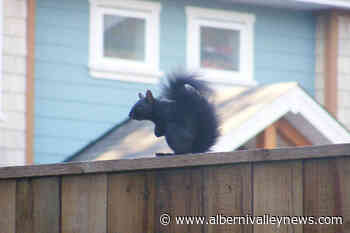 Shocked spectators watch as man drowns squirrel at Cowichan Lake - Alberni Valley News