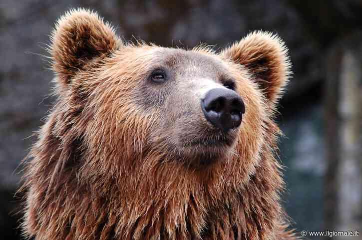"""""""Stop all'abbattimento"""", il Tar salva l'orsa JJ4"""