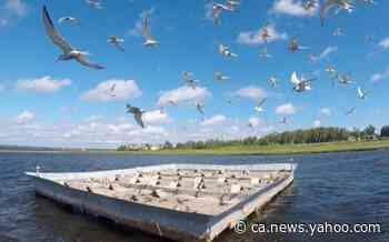 Common terns flock to Shediac Bay in record numbers - Yahoo News Canada