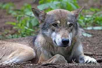 Bestätigung: Wolf hat Schafe bei Altenkirchen gerissen - AK-Kurier - Internetzeitung für den Kreis Altenkirchen