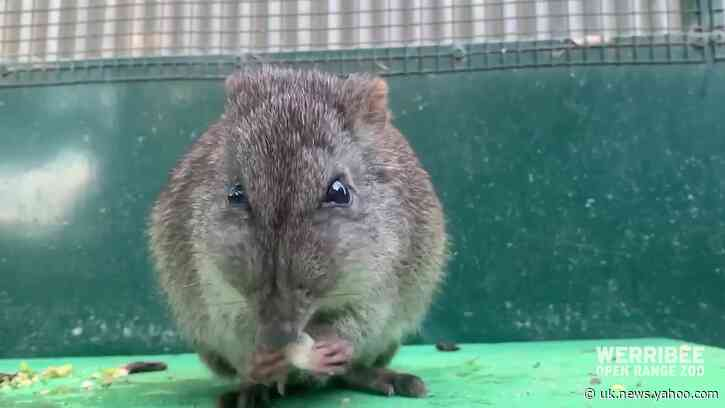 Potoroos Receive Daily Eye Drops From Zookeeper Without Fuss
