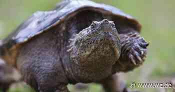 Nettetal: Peta spricht sich gegen das Töten von Schnappschildkröten aus - Westdeutsche Zeitung