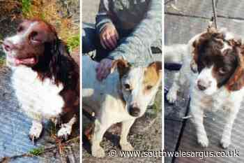 12 dogs stolen across Caerphilly, Markham and Newport - South Wales Argus