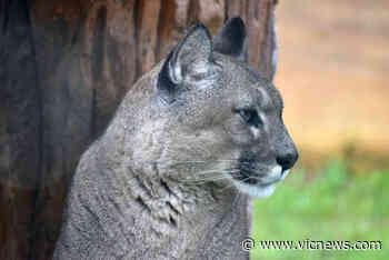 Cougar sighting near Cordova Bay prompts police warning - Victoria News