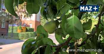 Wildau: Obst von städtischen Bäumen kann kostenlos gepflückt werden - Märkische Allgemeine Zeitung