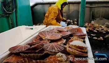 La pesca artesanal de vieira en el Golfo San Matías alcanzaría un nuevo récord este año - pescachubut.com