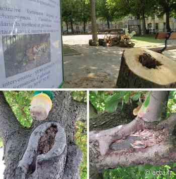 Yvelines : 21 arbres des carrés Saint-Louis de Versailles vont être coupés - actu.fr