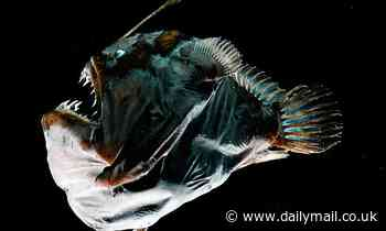 Deep-sea anglerfish 'fuse' bodies with their partners when they mate
