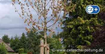 Baumhasser in Celle: Unbekannter tötet junge Bäume in Groß Hehlen - Cellesche Zeitung