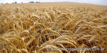 Epamig avalia onze novas cultivares de trigo para o Sul de Minas - Notícias Agrícolas