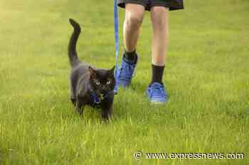 Animals Matter: How to train your cat to walk on a leash - San Antonio Express-News