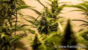 EXCLU - 264 pieds d'herbe de cannabis saisis à Trans-en-Provence - France Bleu