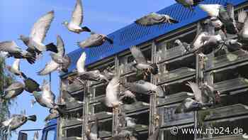 Nationaler Wettbewerb: 3.000 Brieftauben fliegen von NRW nach Finsterwalde - rbb24
