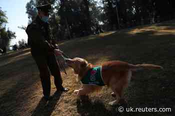 Don't sweat it: Chilean dogs sniff out coronavirus in early stages - Reuters UK