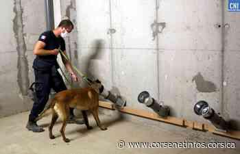 Après Porto-Vecchio, Ajaccio : des chiens renifleurs pour dépister la COVID-19 - Corse Net Infos
