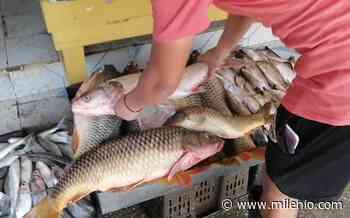 Aumenta producción de pescado y marisco por lluvias en Altamira - Milenio