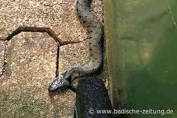Vom Einsatz in der Elz bis zum Schlangen einfangen - Waldkirch - Badische Zeitung - Badische Zeitung