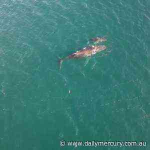 WHALE WATCH: Mother and baby humpback whales spotted in Mackay - Daily Mercury