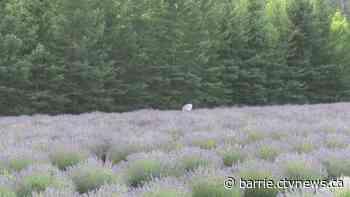 Purple paradise at a Creemore lavender farm - CTV Toronto