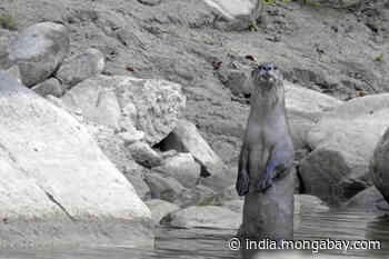 Protecting rivers to conserve otters in Himalayas beyond protected areas - Mongabay-India