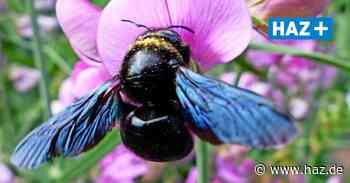 Ehepaar entdeckt Blaue Holzbiene im Garten in Schloß Ricklingen - Hannoversche Allgemeine