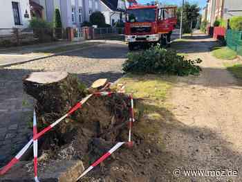 Unfall: Traktor fährt in Eberswalde gegen eine Linde - Baum gefällt - Märkische Onlinezeitung