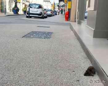 Jura. À Lons-le-Saunier, les rats sont de plus en plus nombreux en centre-ville - Voix du Jura
