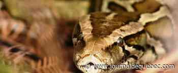 La Floride retire 5000 pythons des Everglades