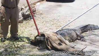 Hallan cocodrilo en plaza comercial de Tampico; bomberos logran capturarlo - El Heraldo de México