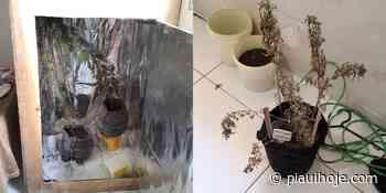 Preso homem com plantação de maconha em casa no bairro Santa Isabel em Teresina - Piauí Hoje