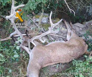 La Guardia Civil de Zamora sorprende a un individuo llevándose un ciervo descuartizado abatido ilegalmente - Zamora 24 Horas