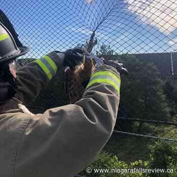 Niagara Falls firefighters rescue owl stuck in driving range mesh - NiagaraFallsReview.ca