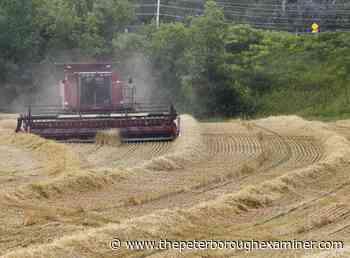 PHOTOS: Harvest time in Peterborough - ThePeterboroughExaminer.com
