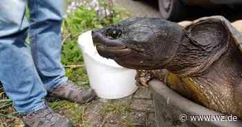 Anzeige gegen Kreis Viersen wegen Tötungsplan für Schnappschildkröten - Westdeutsche Zeitung